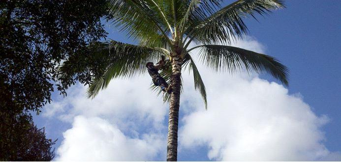 Coconut Pruning