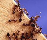 Little Fire Ant Infestations