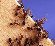 Little Fire Ant Infestations